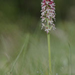 ORCHIS BRULE / LALINDE 5/5/2012