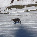 Pas vigousse ce petit chamois de Balacha, pas sûr qu'il passe l'hiver ...