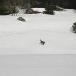 Dès les premiers mètres, un chamois nous invite!
