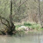 Un cygne de Taubergiessen, le Rhine nést pas loin de mon appartement.