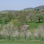 Cherry blossoms near Kandern, 15 km away from Bad Krozingen