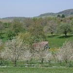 Cherry blossoms near Kandern, 15 km away from Bad Krozingen.
