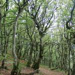Des arbres rabougris au Ballon d`Alsace