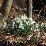 Auch die Schneeglöckchen blühen im Garten
