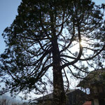 Mammumtbaum im Gegenlicht