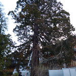 Mammutbaum vor der Pflege