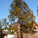 Gepflegter Mammumtbaum