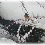 雪のムラサキシキブに・・