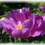庭の石楠花