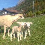 Mutterschaf mit Zwillingen