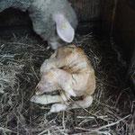 Lamm nach der Geburt