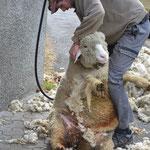 Tobias beim Schafscheren
