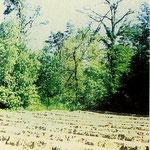 2. Absterbende Eiche im Arheilger Westwald südlich des Otterstädter Wegs