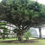 がしゅまろ の木