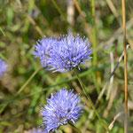 Einzelne Blütenköpfchen