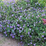 Der Duft der Vergänglichkeit Lavendel