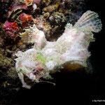 Weißer Frogfisch