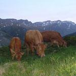Mutterkühe auf der Alp