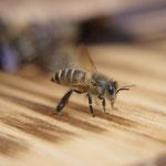 Japanese Honey Bee