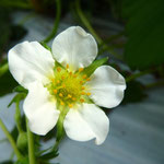 Flower Of Strawberry
