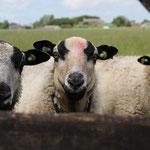 di-005   Nieuwsgierige schapen in Friesland.