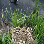 vo-004   Meerkoet met nest.