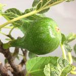 Fruchtansatz Eßfeige, Ficus carica