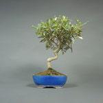 Bonsai Olivenbaum, Olea europaea