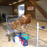 Erste Kuh an der Expomittelland 2013