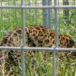 Katzen schlichen durch das Gras...