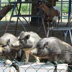Die Schweine gehorchten der Trainerin fast aufs Wort.