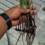 い草は種から育てるのではなくて、苗で継承して行くんですね!