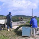 刈取った沖縄ビーグを小束に分けます。