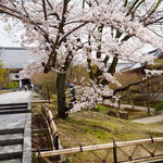 境内の桜。