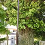 樹齢800年の椎の木とのことです。