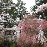 桜の多いお寺です。