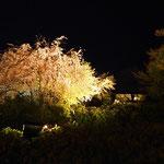 夜桜がきれいです。