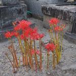 墓地を歩いていたら足下に。彼岸花(曼珠沙華:まんじゅしゃげ)、綺麗ですね。