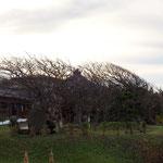 無風でもこの木の姿。右が海です。海からの風が絶えず吹くので、こういう形になってしまいました。