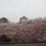 金沢城址、見事な桜です!