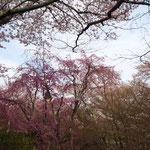 ほかにも桜がたくさん!その1。