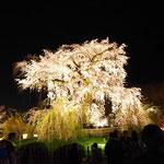 最後は円山公園の枝垂れ桜。大学生の頃を思い出しました。