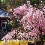 きれいな桜。