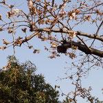 品川区中延:旗岡八幡神社の桜