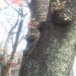 東急大井町線荏原町駅前 さいとう整体前の桜並木