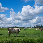 Woerden, polderlandschap met koeien