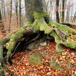 Buche erobert Fundamentreste der Stiefenburg bei Baunach /Foto JP