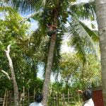 wie man Kokosnüsse vom Baum holt