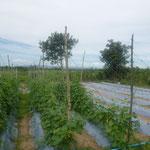 diese zeigt eine Plantage, die LWD mit Saatgut gestartet hat und die jetzt in der ersten Generation nur durch den Besitzer gedeiht