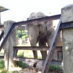 die besagte Elefantendame